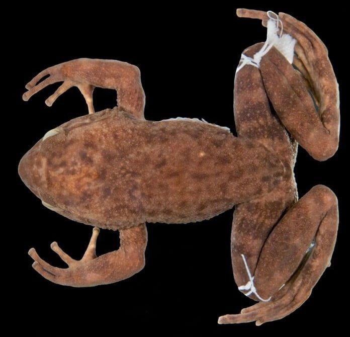 A Megaelosia bocainensis azonosítása igazi nyomozómunka volt.